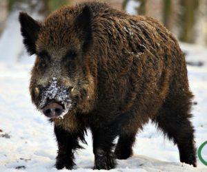5 листопада розпочинається сезон полювання на парнокопитних тварин та хутрових звірів