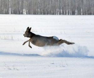 Проведено таксацію по обліку чисельності мисливських тварин