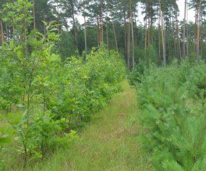 Запорука успіху лісівників Лебединщини — доглянуті лісові культури