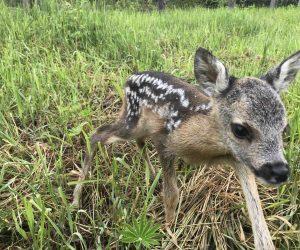 Не підбирайте немічних новонароджених лісових звірят