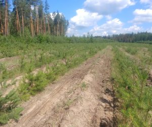 Головний спеціаліст відділу лісового господарства СОУЛМГ оглянув лісові культури Лебединського лісництва