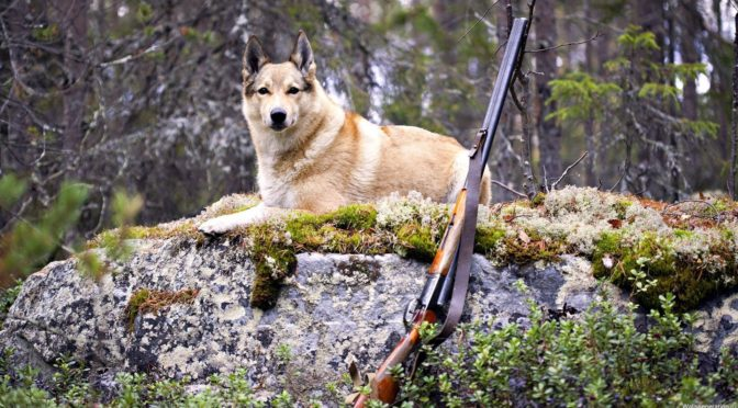 2 листопада в мисливських угіддях сумських лісгоспів розпочинається сезон полювання на парнокопитних тварин та хутрових звірів
