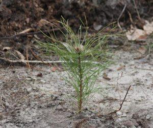 Сумські лісівники висадили майже 1100 га молодих лісів